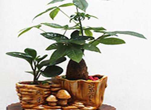 小盆发财树